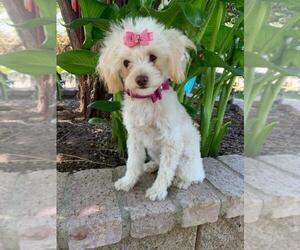 Maltipoo Puppy for Sale in TEMECULA, California USA