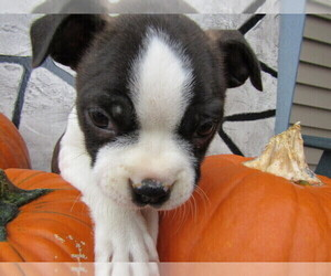 Boston Terrier Puppy for sale in KALAMAZOO, MI, USA