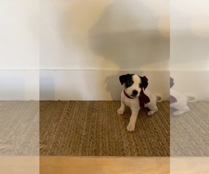 Jack Russell Terrier Puppy for Sale in CORAL GABLES, Florida USA