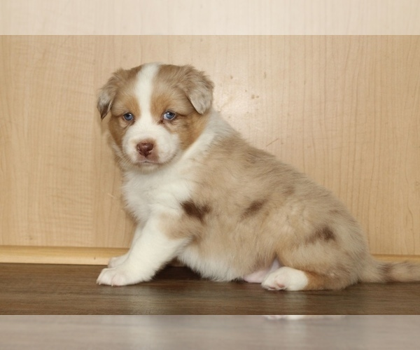 Medium Photo #14 Australian Shepherd Puppy For Sale in CARMEL, IN, USA