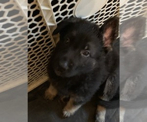German Shepherd Dog Puppy for Sale in HILLSBORO, New Hampshire USA