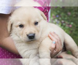 Labrador Retriever Puppy for Sale in BURIEN, Washington USA