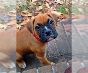Boxer Puppy for sale in KALAMAZOO, MI, USA