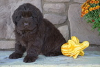 AKC Newfoundland For Sale Dalton OH Male Oscar