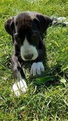 Great Dane Puppy For Sale in SUMNER, IA, USA