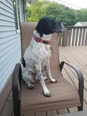 Pointer Dog For Adoption in YORKVILLE, IL, USA