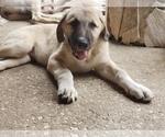 Puppy 4 Anatolian Shepherd-Maremma Sheepdog Mix