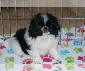Japanese Chin Puppy for Sale in ORO VALLEY, Arizona USA