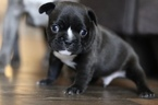 French Bulldog Puppy For Sale in ALEXANDRIA, OH, USA