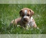 Puppy 2 Australian Cattle Dog-Treeing Walker Coonhound Mix