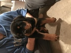 Rottweiler Puppy For Sale in OWOSSO, Michigan,