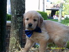 Golden Retriever Puppy For Sale in HAZLETON, PA,