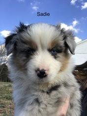 Australian Shepherd Puppy For Sale in RUSSELLVILLE, KY, USA