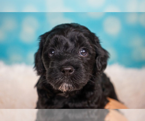 Australian Labradoodle Puppy for Sale in CASTRO VALLEY, California USA