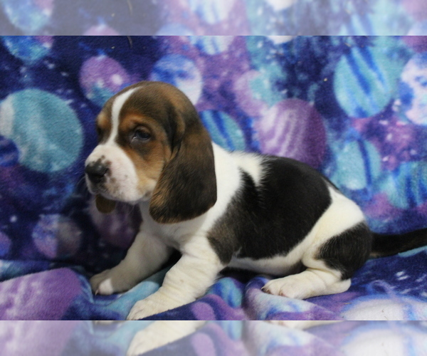 Medium Photo #5 Basset Hound Puppy For Sale in JOICE, IA, USA
