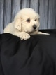 Great Pyrenees Puppy For Sale in ARCHBOLD, Ohio,