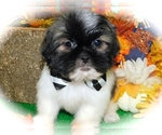 Small #1 Shih Tzu-Shih-Poo Mix