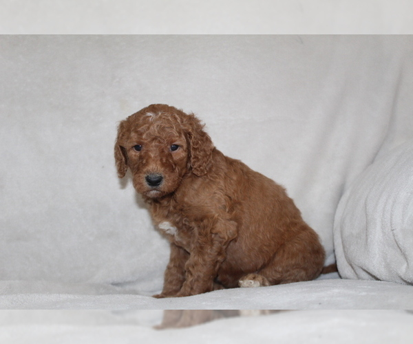 Medium Photo #4 Goldendoodle Puppy For Sale in FRESNO, OH, USA
