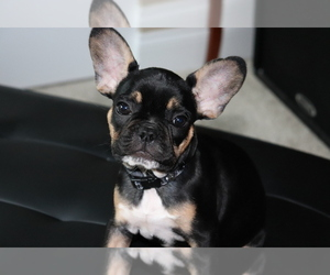 French Bulldog Puppy for Sale in EVANS CITY, Pennsylvania USA