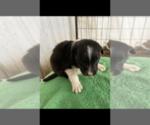 Puppy 10 Border Collie