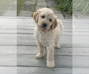 Goldendoodle Puppy for Sale in FREDONIA, Kentucky USA