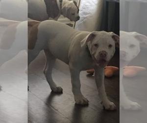 American Bulldog Puppy for sale in ORLANDO, FL, USA