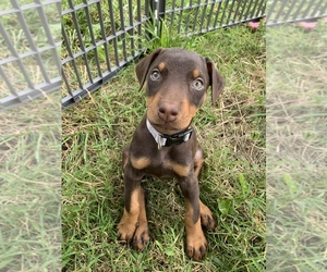Medium Doberman Pinscher