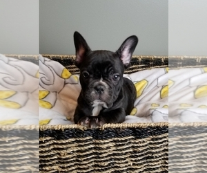French Bulldog Puppy for sale in GREENWOOD, IN, USA