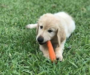 Golden Retriever Puppy for sale in BAYTOWN, TX, USA
