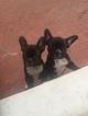 French Bulldog Puppy For Sale in VENICE, CA, USA
