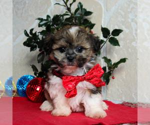 Zuchon Puppy for sale in GORDONVILLE, PA, USA