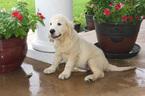 English Cream Golden Retriever  Puppy For Sale in DENTON, TX, USA