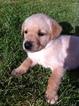 Golden Labrador Puppy For Sale in CHEHALIS, WA, USA
