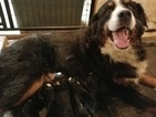 Bernese Mountain Dog Puppy For Sale in RADCLIFFE, IA, USA