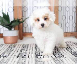 Poochon Dog for Adoption in NAPLES, Florida USA