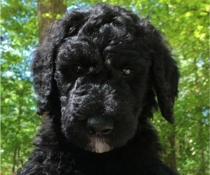 Australian Labradoodle Puppy for sale in CHAPEL HILL, NC, USA