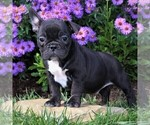 Small #7 Faux Frenchbo Bulldog