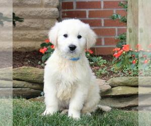 Golden Retriever Dog for Adoption in NEW PROVIDENCE, Pennsylvania USA