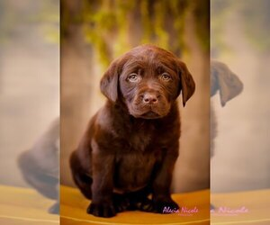 Labrador Retriever Puppy for Sale in APPLE VALLEY, California USA