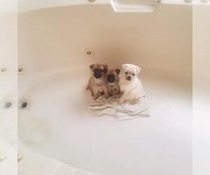 Pom-A-Pug Dog for Adoption in FRESNO, California USA