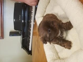 Shih Tzu Puppy For Sale in PHOENIX, AZ, USA