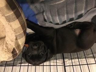 View Ad Boxador Puppy For Sale Iowa Des Moines Usa