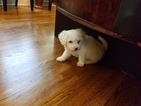 Bichon Frise Puppy For Sale in MEMPHIS, TN, USA