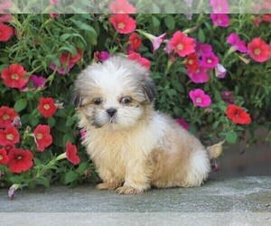 View Ad: Shih Tzu Puppy for Sale near Ohio, FREDERICKSBG