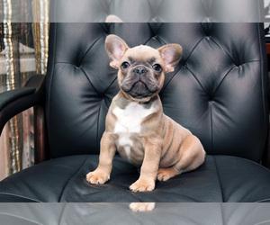 French Bulldog Puppy for sale in Zhdanovichy, Minsk, Belarus