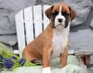 Boxer Puppy for Sale