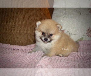 View Ad: Pomeranian Puppy for Sale near Louisiana, GRAYSON