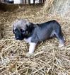 Small #6 Anatolian Shepherd-Great Pyrenees Mix