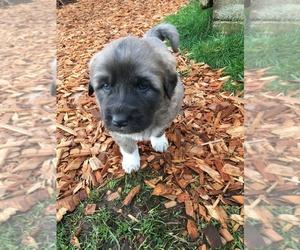 Anatolian Shepherd-Great Pyrenees Mix Puppy for sale in YACOLT, WA, USA