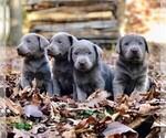 Small Photo #2 Labrador Retriever Puppy For Sale in DRY RUN, PA, USA
